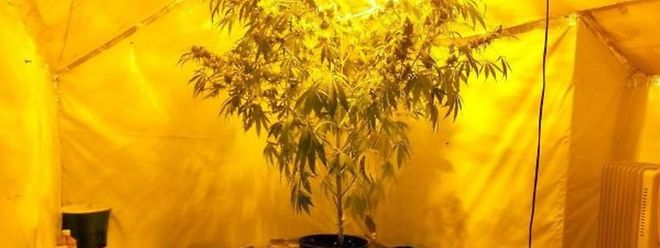 La plantation de cannabis chez soi peut être sanctionnée par une peine allant de un à cinq ans de prison.