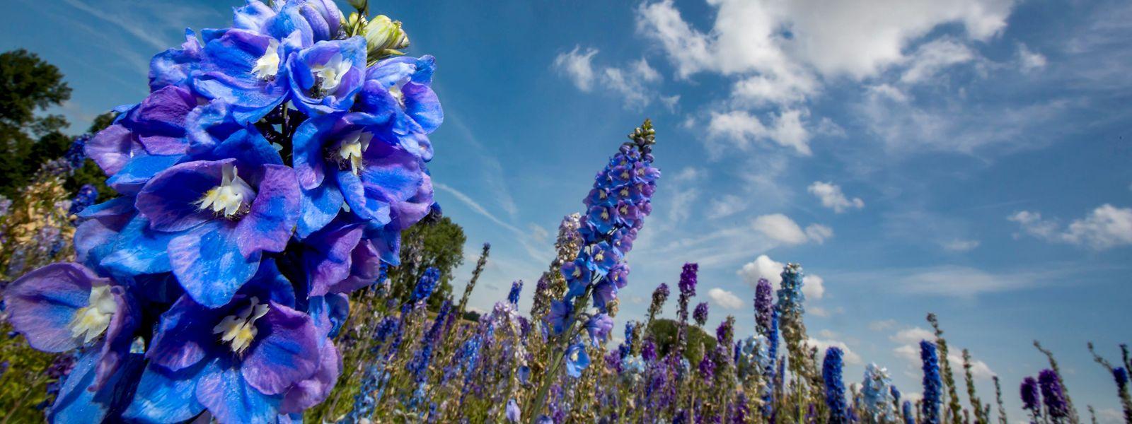 Der Rittersporn bildet kräftige, meterhohe Stiele, an denen blaue Blüten sitzen, die sich von unten nach oben öffnen.