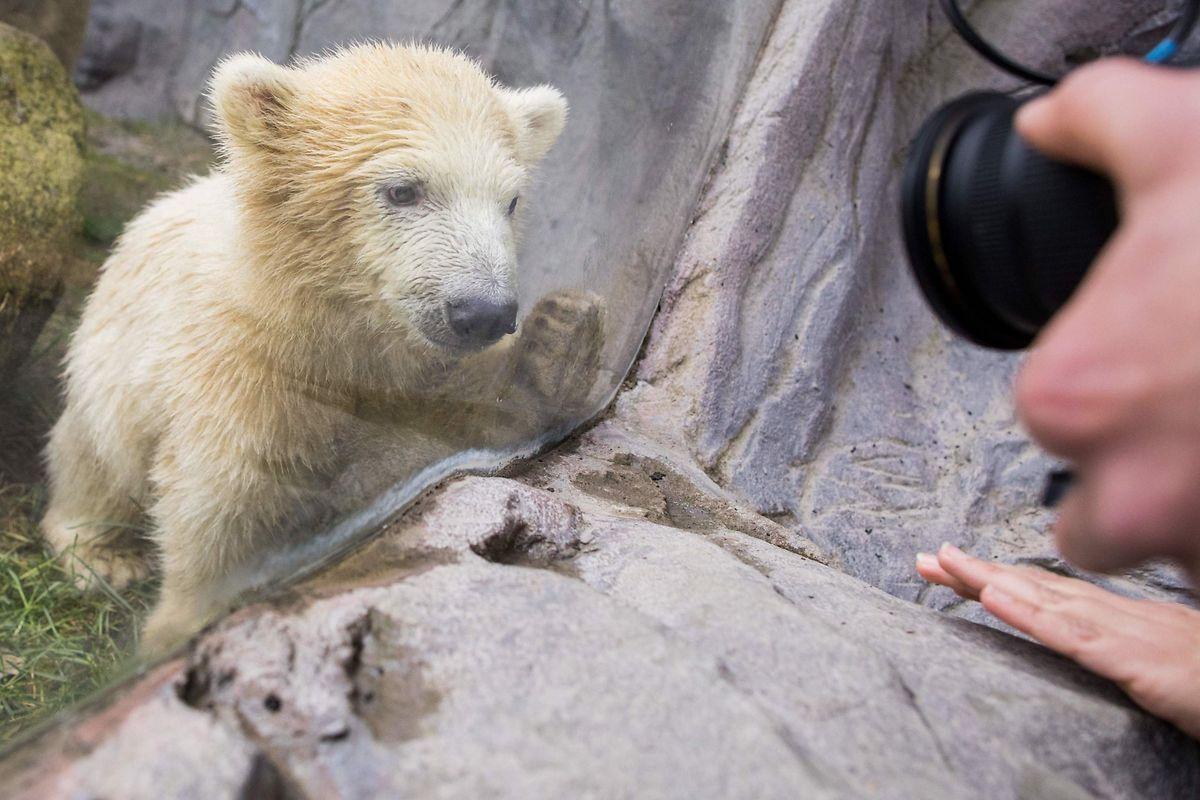 Das Eisbärbaby Nanook betritt zum ersten Mal das Gehege. Das weibliche Jungtier kam am vergangenen 4. Dezember zur Welt.