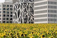 Kultur, Sommerseiten, 11H, gestellt, Unterschied wie Tag und Nacht, Cloche D'Or mit Natur verbunden, Sonnenblumenfeld auf Cloche D'Or Foto: Anouk Antony/Luxemburger Wort