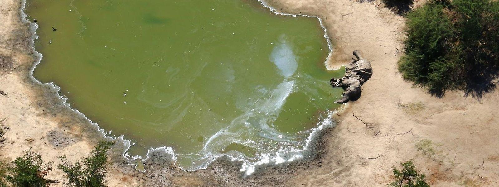 Ein toter Elefant an einer Wasserstelle im Okavango-Delta in Botsuana.