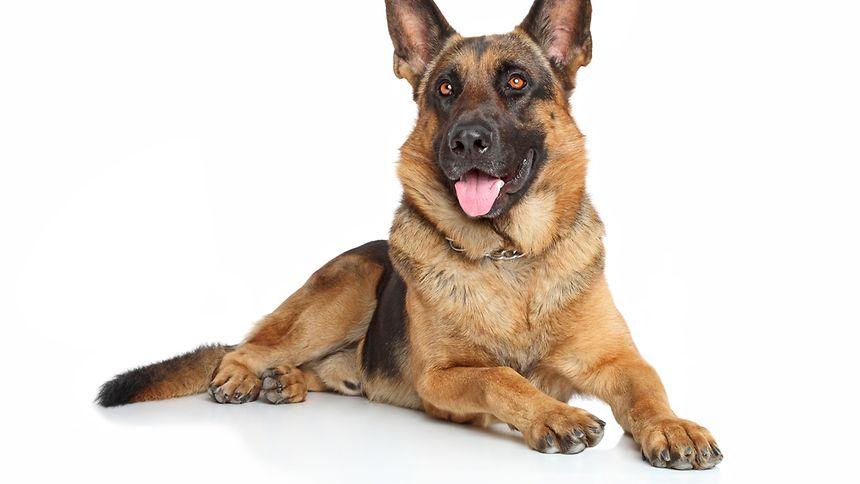 Große Hunde haben häufig Probleme mit den Hnterläufen.
