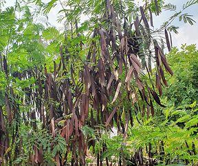 De Seidenbaum mat senge Friichten