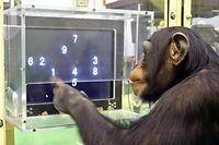 Der Schimpanse Ayumu im Primate Research Institute in Inuyama Zahlen auf einem Computerbildschirm an.