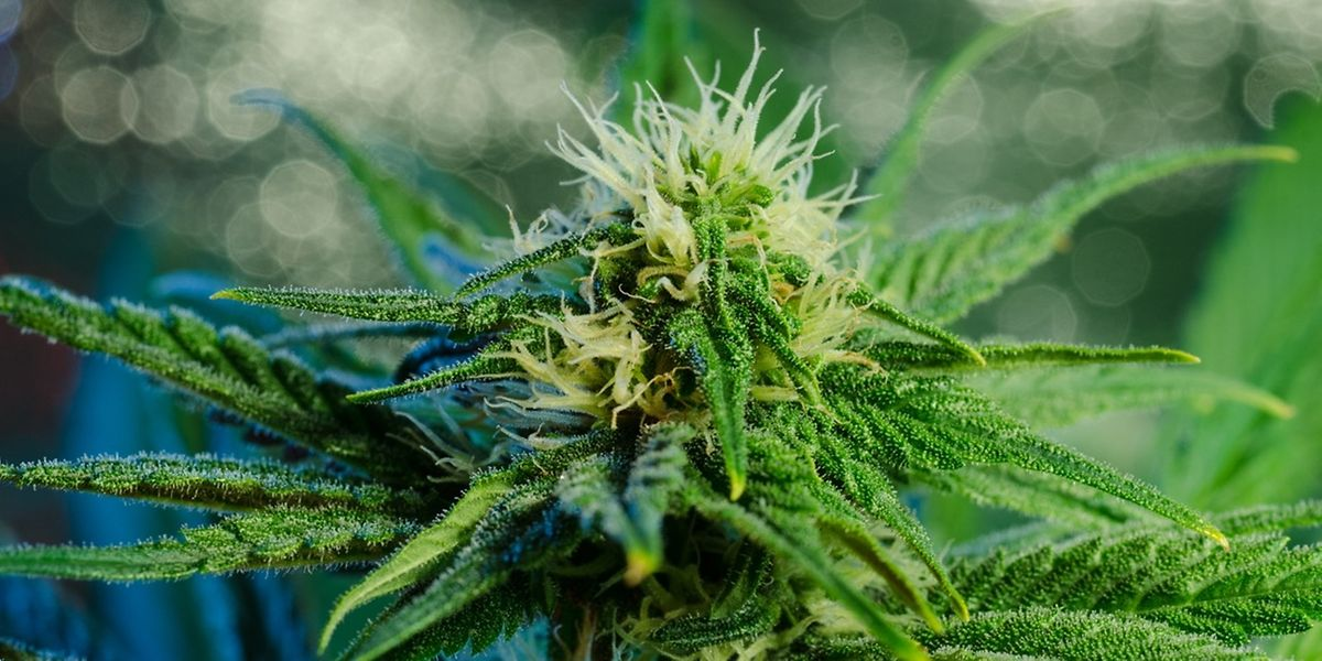 Cannabis ist die meist konsumierte illegale Droge in Europa.