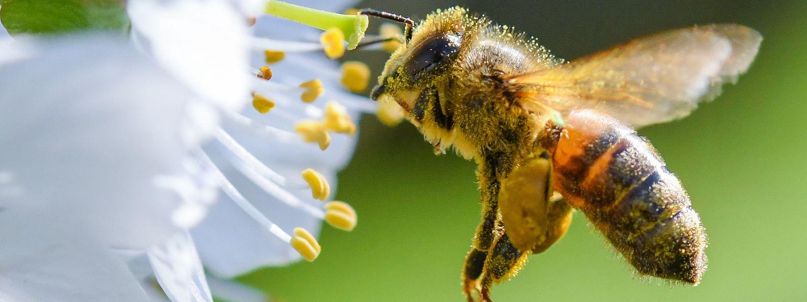 85% des plantes à fleurs sont pollinisées par les abeilles, les papillons et les scarabées