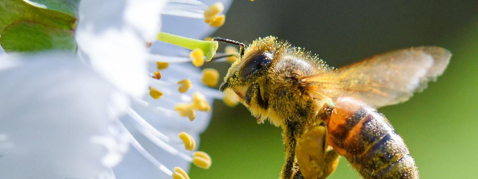Zu den eifrigen Bestäubern gehören neben den Bienen auch Fligen, Schmetterlinge und Käfer.