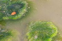 Bei exzessiver Entwicklung bilden die Cyanobakterien blaugrüne Algenteppiche.
