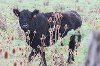 2015 waren die Galloway-Rinder in Mensdorf noch in guter Gesundheit