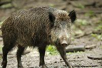 Kein Schwein gehabt: die afrikanische Schweinepest grassiert unter den Borstentieren.