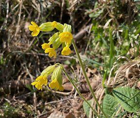 Schlesselblum ( Primula veris )