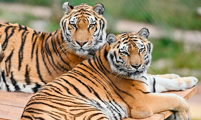 Siberian tigers are a big attraction at many of Germany's zoos and animal parks