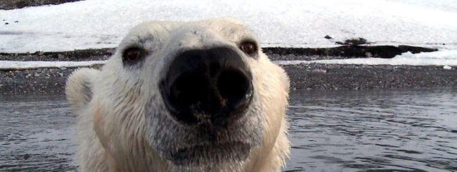 Starkes Symbol im Kampf gegen den Klimawandel: der Eisbär.