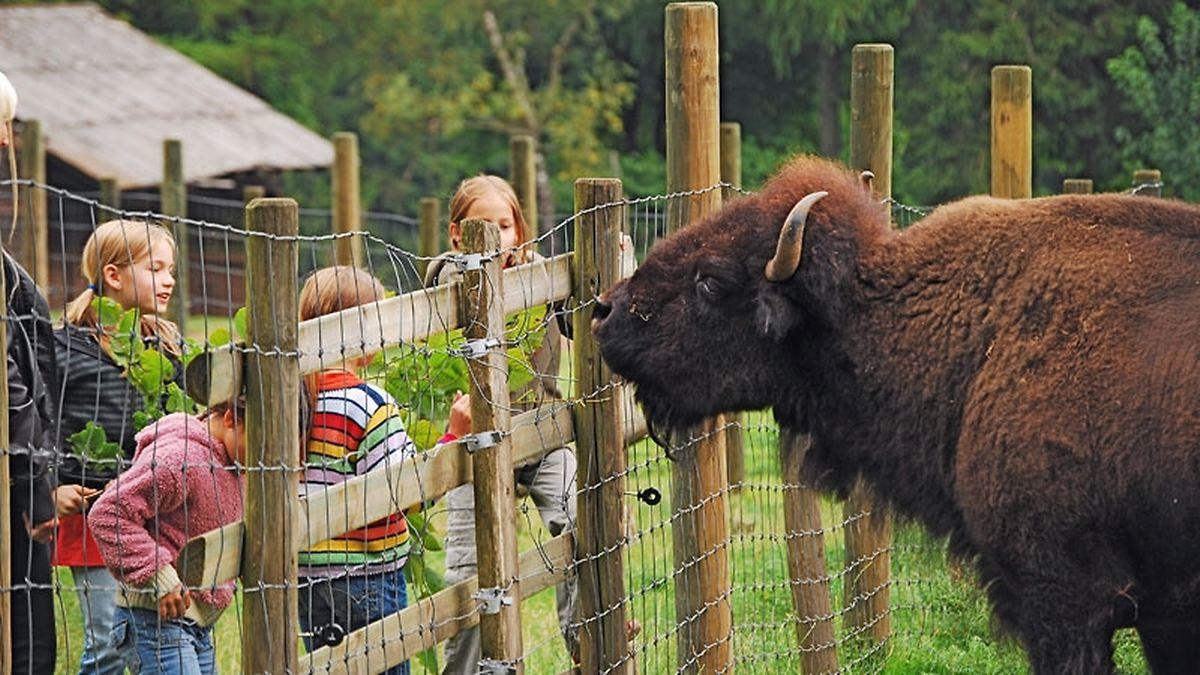 Se nunca viu um bisonte, tem agora uma oportunidade única
