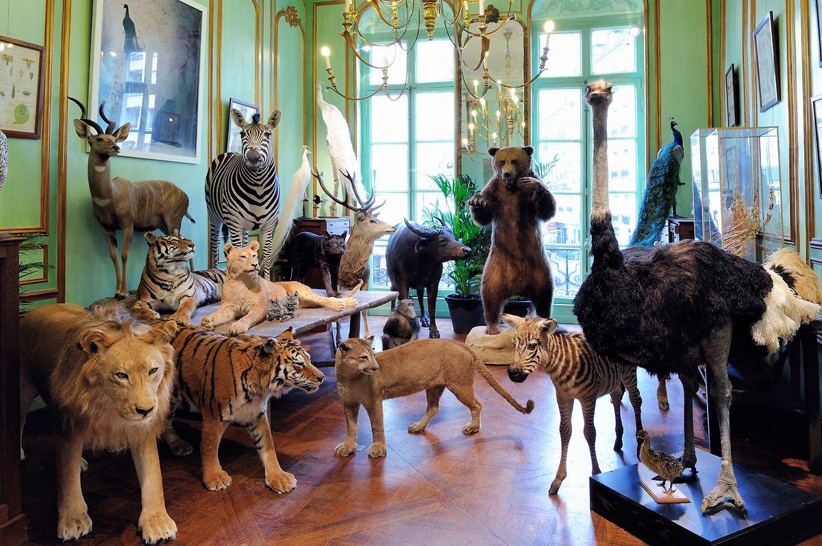 In den historischen Räumlichkeiten von Deyrolle tummeln sich ausgestopfte Tiere als wären sie dort zuhause.