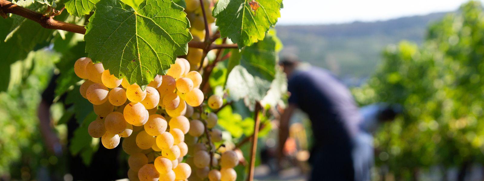 Die sich ändernden Bedingungen verlangen den Weinbauern immer mehr Flexibilität ab.