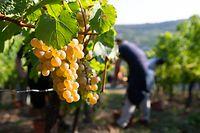 Auxerrois-Trauben erkennt man an ihren charakteristischen Blättern sowie an ihren goldgelben Beeren mit den Sommersprossen ähnelnden Flecken.