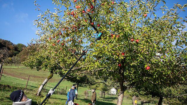 Osten , Bech , Naturpark Mellerdall , Dag vum Bongert , Apfelplückaktion, Foto:Guy Jallay/Luxemburger Wort