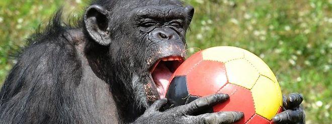 Schimpansen knacken Nüsse mithilfe einer Unterlage und eines Schlagwerkzeugs.