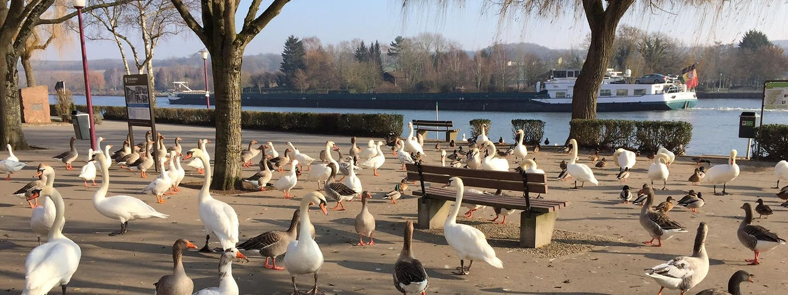 Nicht nur Menschen zieht es an die Esplanade: Auch Schwäne und Enten gehören zu den täglichen Besuchern am Moselufer.