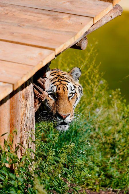 Sahib, ein 14 Jahre alter Sibirischer Tiger, beim Herumstreifen in seinem neuen Zuhause.