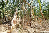 Besonders die Maiskulturen leiden unter der Trockenheit.