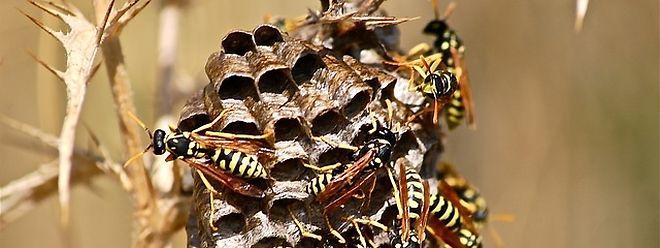 """""""Les insectes réussissant à passer par le moindre petit trou pour attaquer"""", a souligné le maire."""