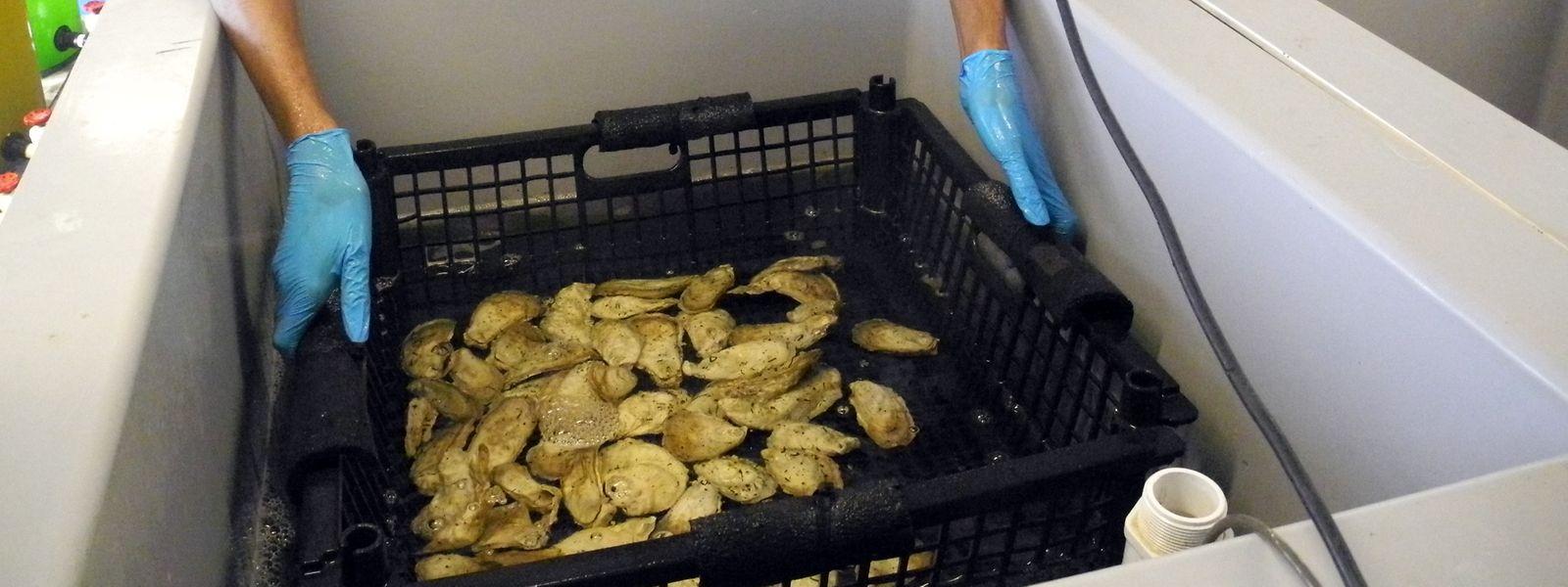 Ein Mitarbeiter hält einen Korb Austernschalen im Labor des «Billion Oyster Project» auf der Insel Governors Island, wo Umweltschützer und Schüler daran arbeiten, die Austernbestände im New Yorker Hafen wieder zu erhöhen.