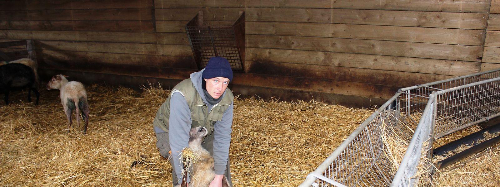 Stijn Vandijc mit einem der verwundeten Schafe. Ein anderes Tier wurde getötet.