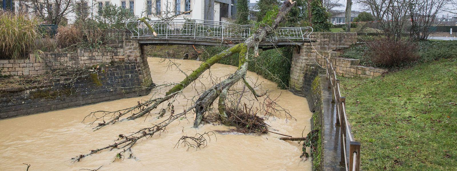 Den Kampf gegen das Sturmtief Sabine hat dieser Baum im Park in Bad Mondorf verloren.