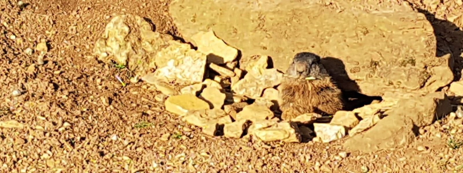 Deutlich abgemagert, aber bei bester Gesundheit. Am Montagnachmittag steckte das erste der vier Murmeltiere auf dem Escher Gaalgebierg seinen Kopf zum ersten Mal für dieses Jahr aus seiner Erdhöhle im Escher Déirepark.
