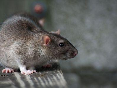"""""""Pour chaque rat, nous paierons 20.000 roupies (environ 1,5 dollar)""""."""