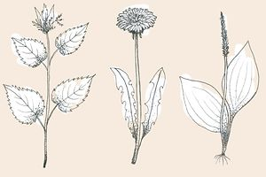 Plants that we consider weeds are actually very nutritious, sometimes even healing