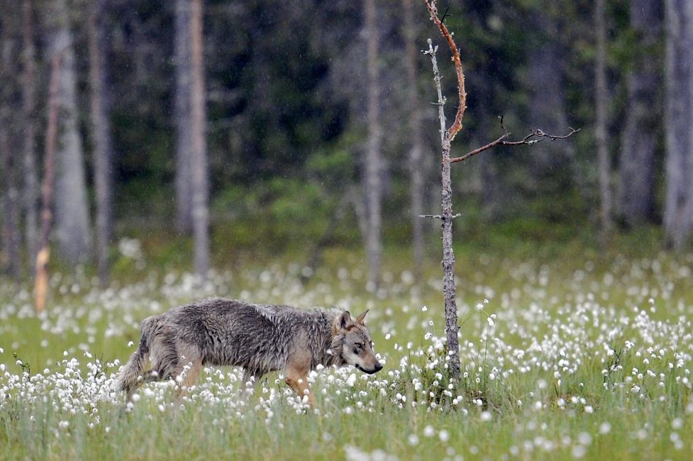 A wolf  near the Russian border in Kuhmo, Finland.