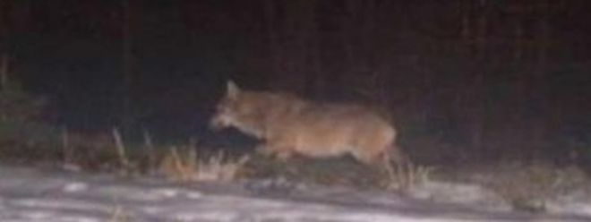 Der Wolf war in der Nähe von Walscheid fotografiert worden.