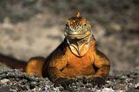 Die urzeitlichenMeerechsen sind neben denRiesenschildkröten ein tierisches Aushängeschild der Galapagos-Inseln.