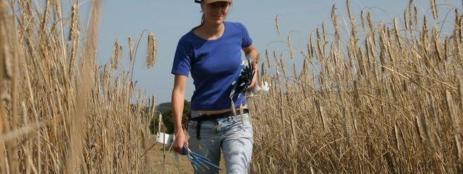 Les agriculteurs luxembourgeois craignent le pire pour leur récolte