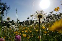 Echte Blumenwiesen sind ein Paradies für Insekten