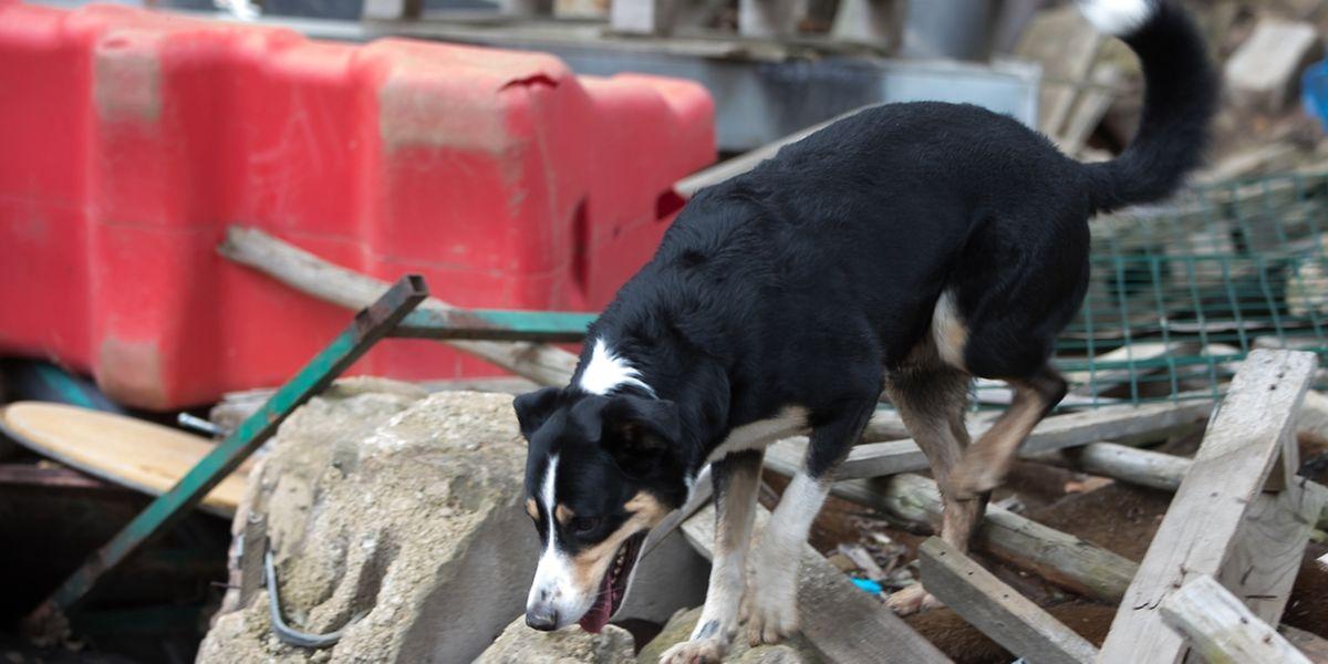 Benji ist seit vier Jahren Mitglied der Hundestaffel. Hier sucht er nach verschütteten Personen.