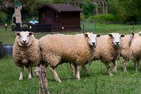 in Luxemburg wurden seit 2017 bei drei Fällen Schafe von einem Wolf gerissen. Dennoch ernährt sich der Wolf laut Experten vorrangig von Wildtieren.