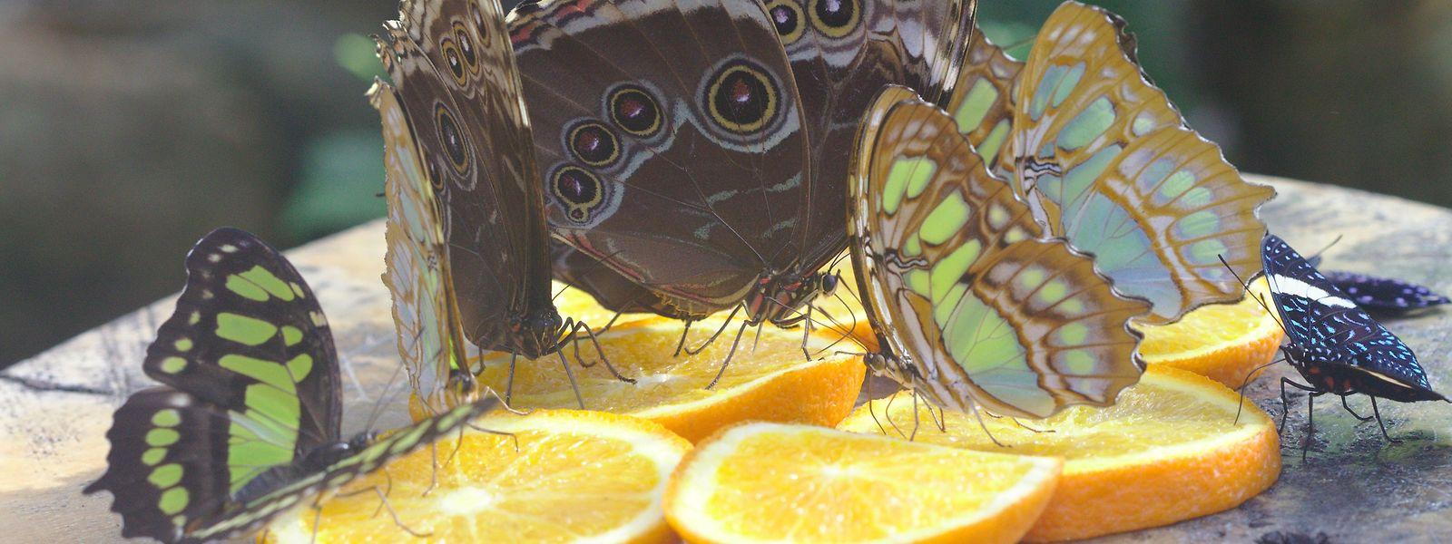 Die Schmetterlinge finden in dem Garten vielerlei Blüten und werden zudem mit  Zuckerwasser und Orangenscheiben gefüttert.