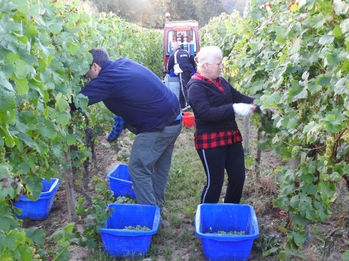 Die Trauben werden per Hand mit einer Weinbergsschere von den Reben abgetrennt und in Bottiche geworfen.
