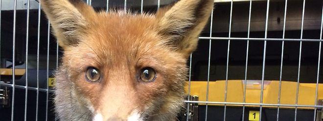 Nach der Untersuchung in der Düdelinger Pflegestation für Wildtiere wurde der Fuchs wieder in die Freiheit entlassen. (Foto: Einsatzzentrum Düdelingen)