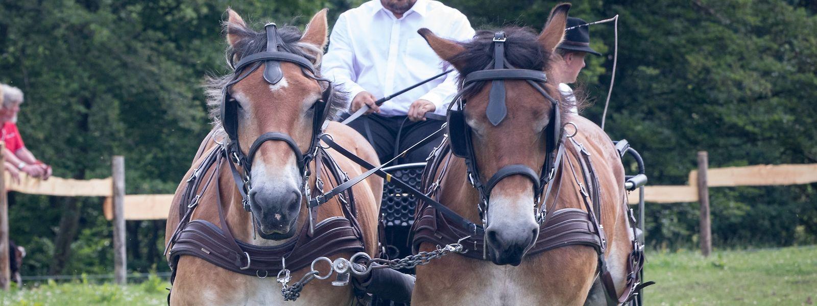 Ardenner Pferde sind robuste Tiere, die in der Vergangenheit in vielerlei Hinsichten die heutigen motorisierten Geräte ersetzten.