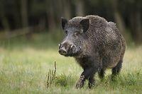Bislang blieb Luxemburg noch offiziell von der afrikanischen Schweinepest verschont. Die Gefahr steht nach dem Nachweis eines Falles in Differt bei Messancy (B) mittlerweile aber direkt vor der Haustür.