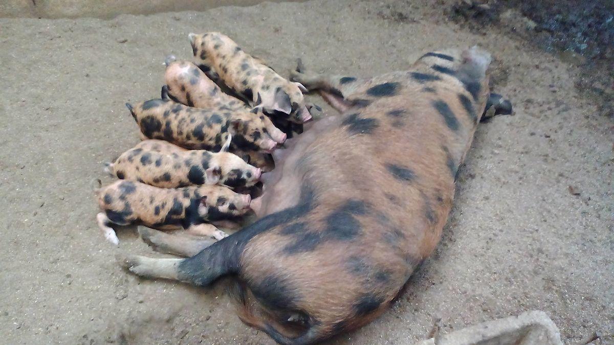 Die pflegeleichten Ibérico-Schweine sind im Vergleich zu gewöhnlichen Hausschweinen kleiner und flinker.