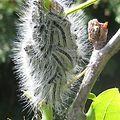 Oak Processionary Caterpillars