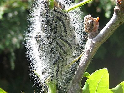 Oak Processionary Caterpillars