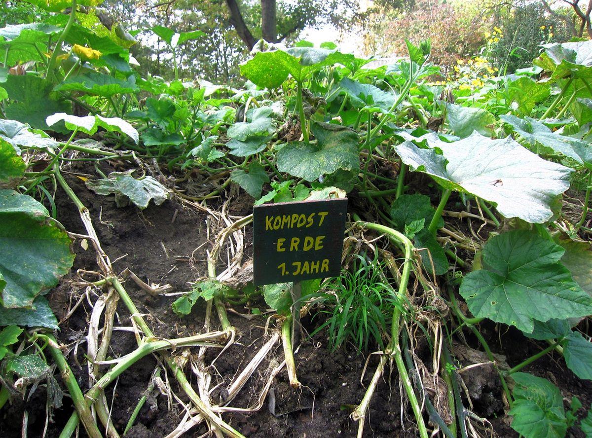 Eine Bepflanzung des Kompost mit stark zehrenden Gewächsen wie Kürbis oder Gurke hat dem Material den Sommer über Stickstoff entzogen.