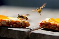 ARCHIV - Zum Themendienst-Bericht von Jennifer Weese vom 4. August 2020: Süße Speisen, etwa ein Marmeladenbrot, sind für Wespen besonders anziehend. Foto: Karl-Josef Hildenbrand/dpa/dpa-tmn - Honorarfrei nur für Bezieher des dpa-Themendienstes +++ dpa-Themendienst +++